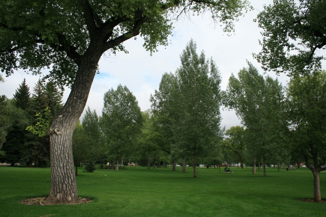 A poplar overlooks the park