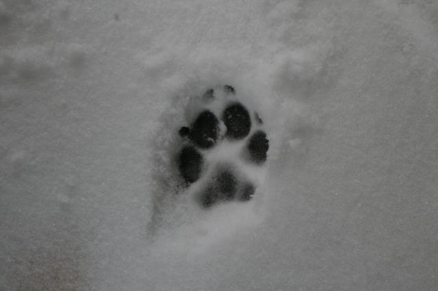 Abe's snowy paw print