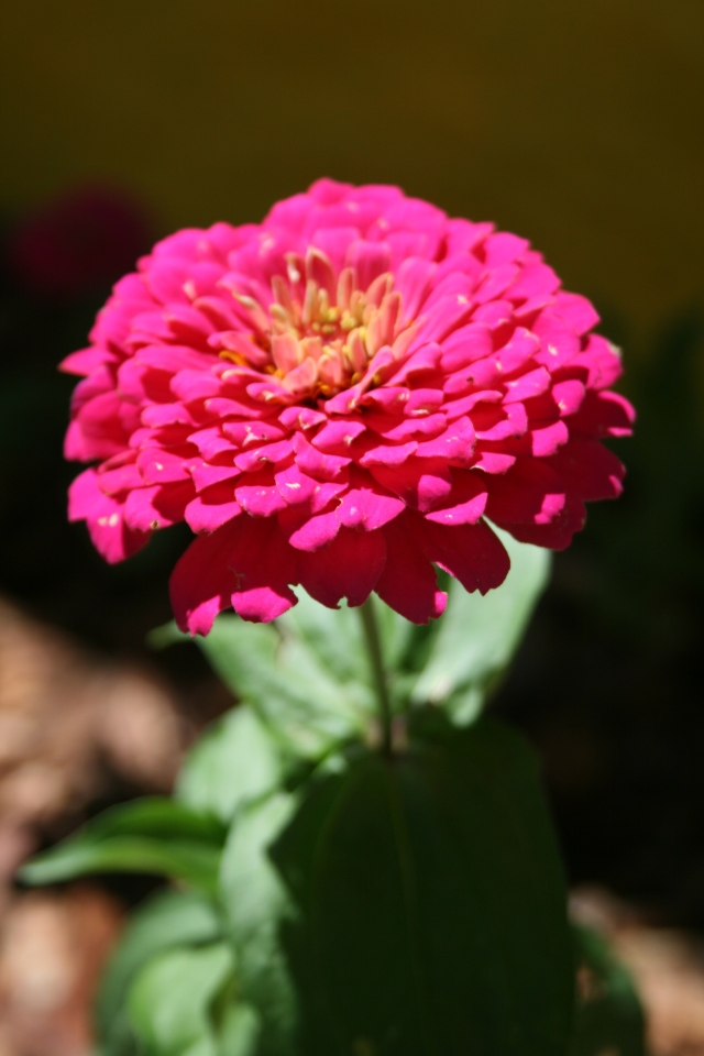 I'm posting this picture of the best-looking zinnia, obviously