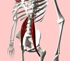 The two highlighted muscles pictured here are the psoas muscles. Photo from pilatesgarage.com