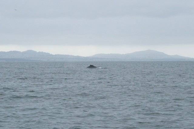 A faraway humpback whale, still in the bay