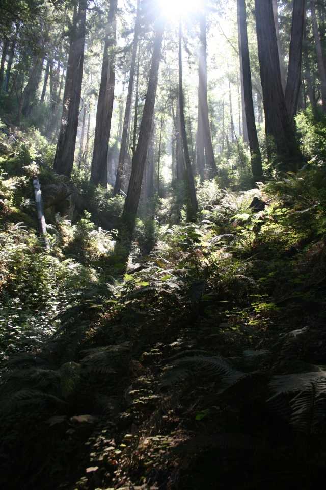 Redwoods in the magical morning mist of the Pacific